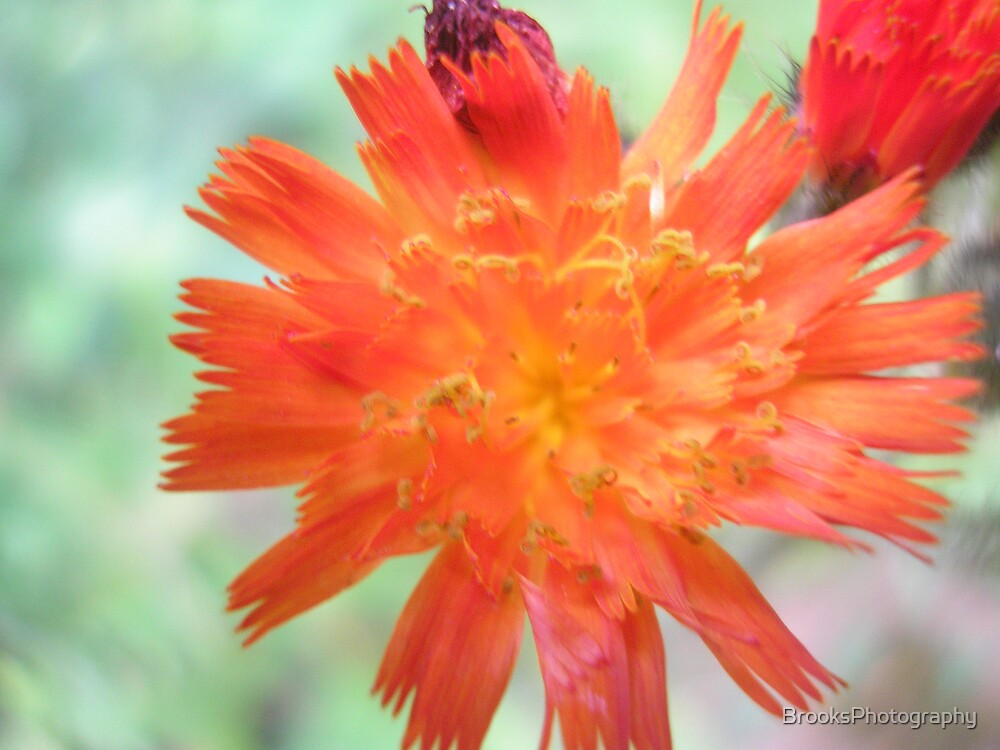 splash flower by BrooksPhotography