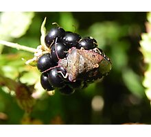 Brown Marmorated Stink Bug Photographic Print