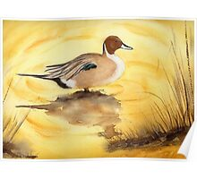 Pintail Duck Poster