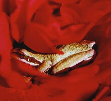 Frog in a Rose by Anita Donohoe