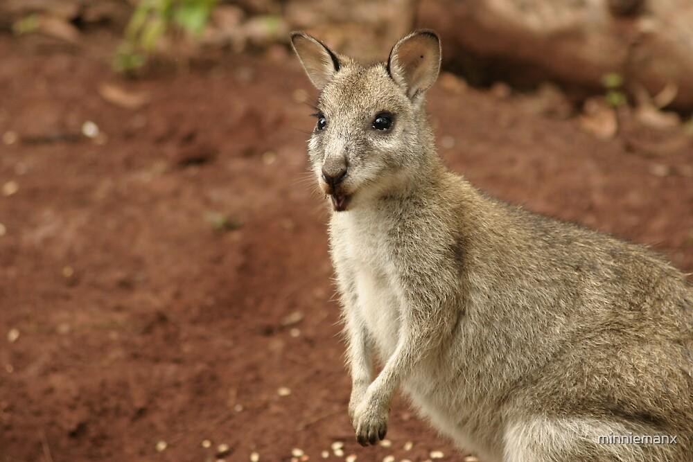 Pretty Face Wallaby by minniemanx