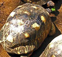 HAWKSBILL TURTLES ON NOSY KOMBA EATING BANANA by JAYMILO