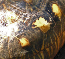 HAWKSBILL TURTLES ON NOSY KOMBA EATING BANANA Sticker