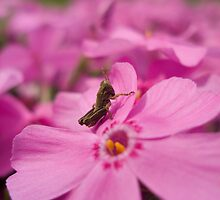 Little grasshopper by jeff acomb