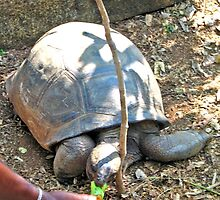 HAWKSBILL TURTLE BEING FED A BANANA by JAYMILO