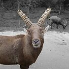Ibex You're Looking At Me by Vicki Spindler (VHS Photography)