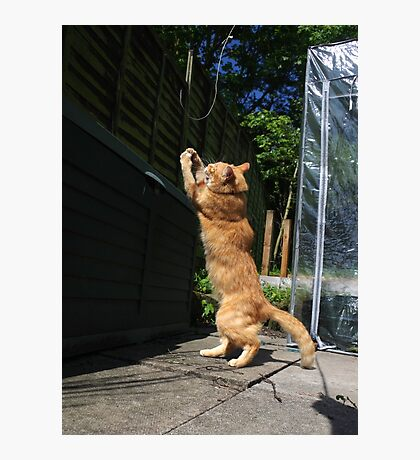 Ginger cat playing with string Photographic Print