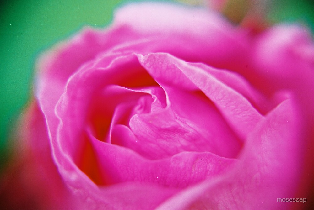 Rose by moseszap