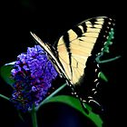 Tiger Swallowtail Butterfly by Brad Sumner