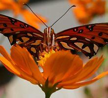 Butterfly in Fall by Jodi