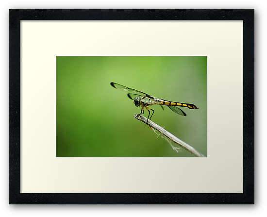 Dragonfly by Taylor Jury