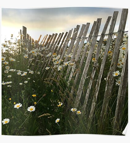 Sunset Daisies by the Weathered Fence Poster