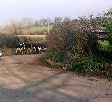 Cows moving into their new field. by Kirsty Harper