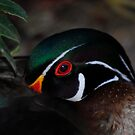 Resting Wood Duck by Terry Best