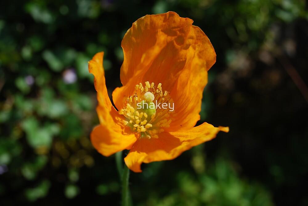 Orange Poppy by shakey