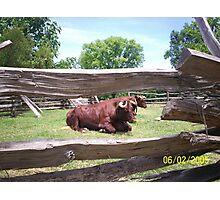 The Bull Photographic Print