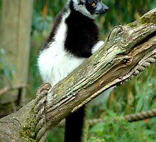 Black and White Ruffed Lemur  by TANYA WILLIAMS