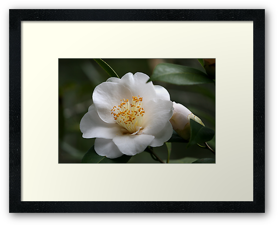 White Camellia II by Gary L   Suddath