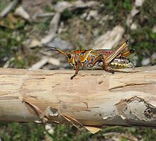 grass hopper by Elzbieta