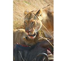 Lions at a Wilderbeest Kill, Maasai Mara, Kenya  Photographic Print
