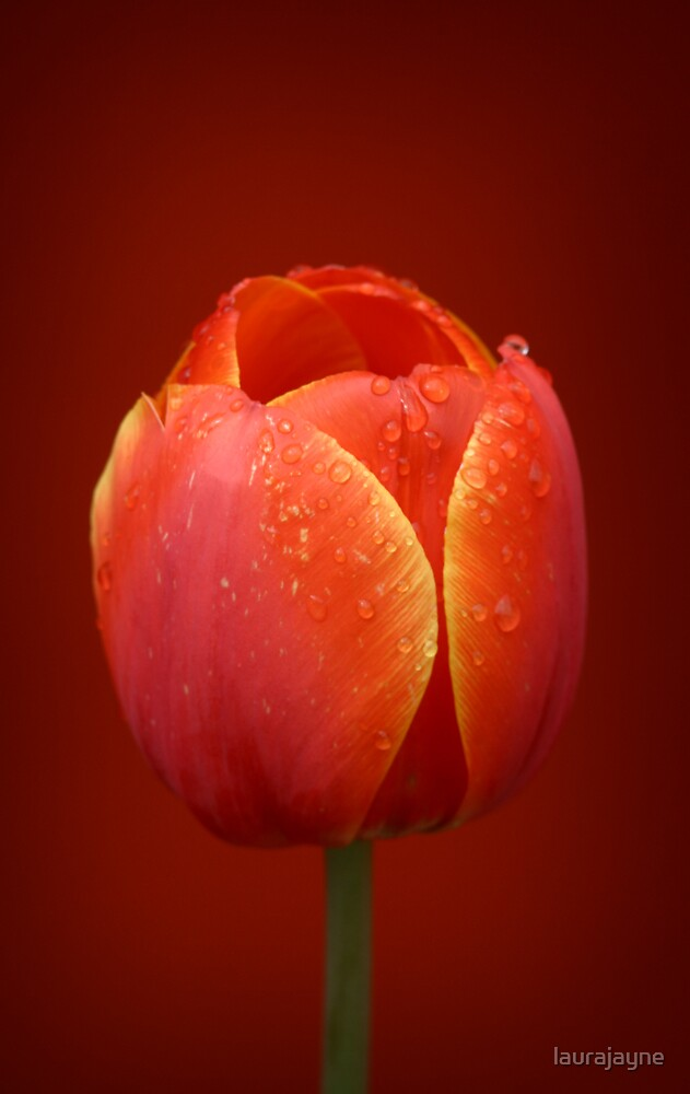Nature's Beauty - Red Tulip by laurajayne