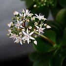 Flowering Jade by LOREDANA CRUPI