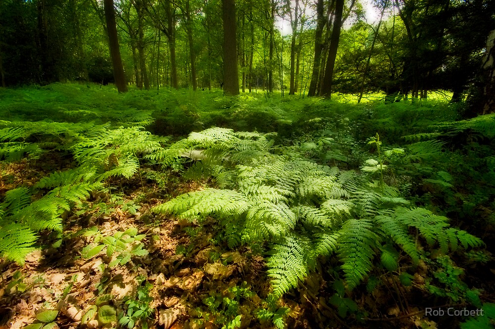 Sea of Ferns. by Rob Corbett