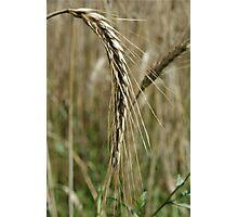Barley Wheat Photographic Print