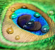 Peacock Feather by MMPhotographyUK