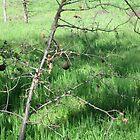 Oak Galls by Barbara Wyeth
