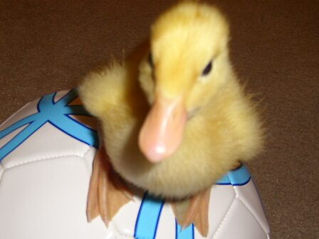 ducklings by Esmeralda @->-------
