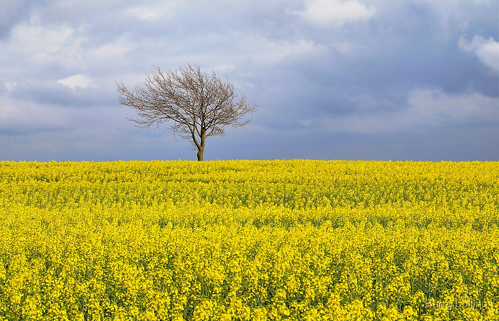 yellow field by Barry Culling
