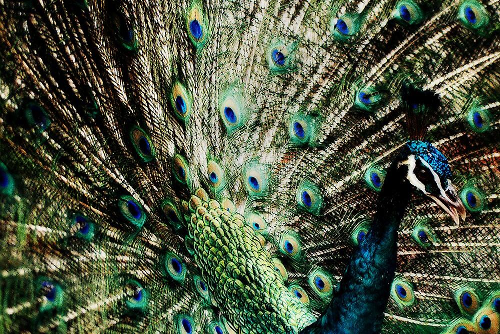 Peacock by caroline wahlberg