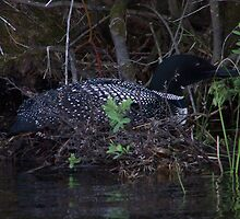 Loon nesting by Emery