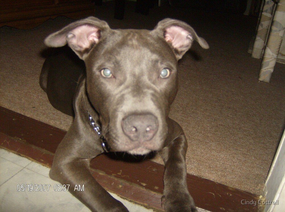 Pitbull's Are People 2!! by Cindy Cottrell