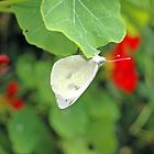 White Butterfly on Nasturtium Leaf by Steve