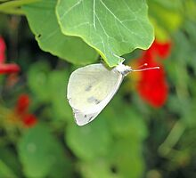 White Butterfly on Nasturtium Leaf by Stephen Frost