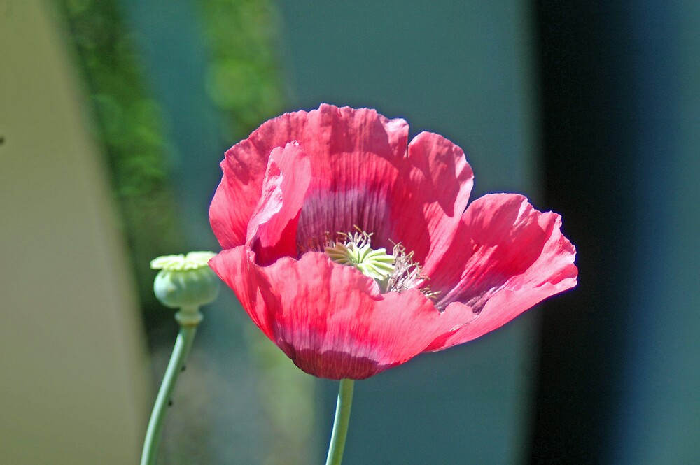 Poppy by Stephen Frost