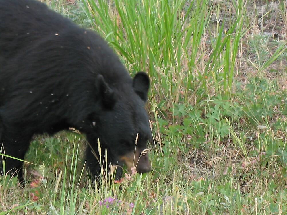 Black bear by Brynne Kaufmann