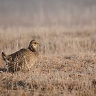 Prairie Chicken 8-2015 by Thomas Young