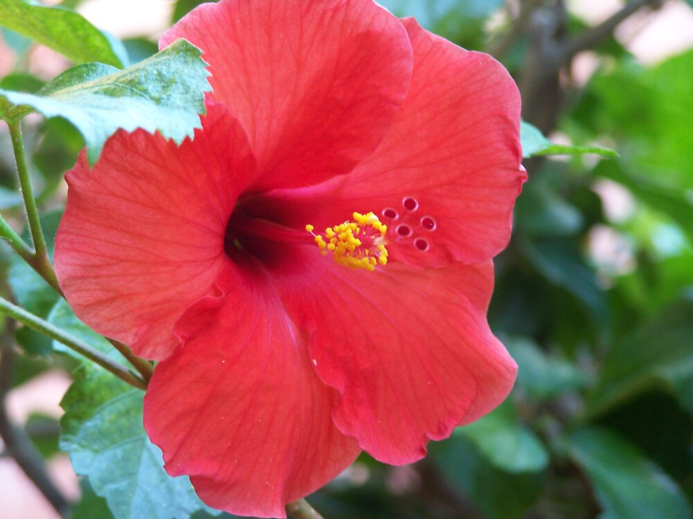 red hibiscus by StacyLizeth