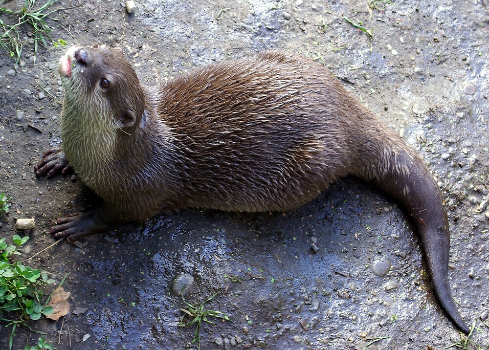 Otter 4 by Geoff46