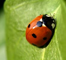 Ladybird by Mark Lorch