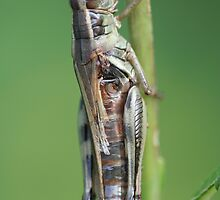 macro grasshopper by Christopher  Ewing