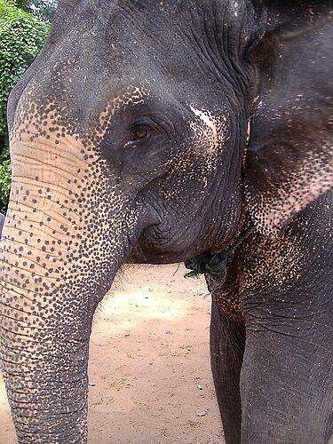 Cambodia Elephant by Sarah Jones