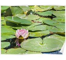 Lonely little Water Lily Poster
