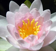Pink Water Lily by Mary  Lane