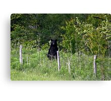 Black Bear Canvas Print