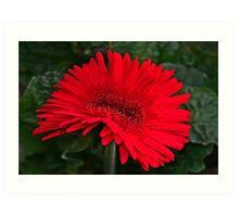 Red Gerber Daisy Art Print