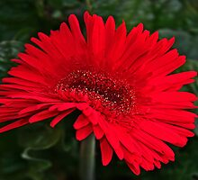 Red Gerber Daisy by Gary L   Suddath